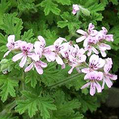 geranium oil to help stop cellulite