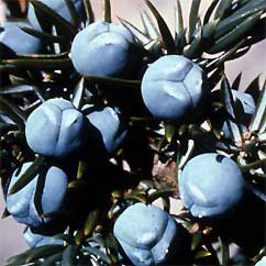 juniper berry essential oil, fight fluid retention cellulite